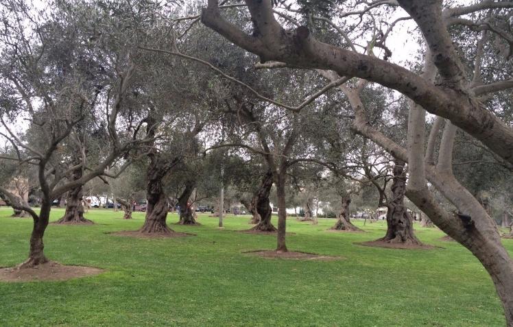 2.1470518565.olive-grove