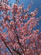 3.1488023484.2-yoyogi-park-early-blossoms