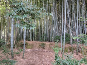 Bamboo grove on Mount Inari