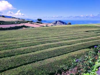 Cha Gorreana tea plantation, Sao Miguel, The Azores