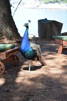 Peacock on Lokrum Island Croatia