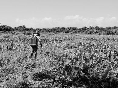 La Coroza grand farm malanga plants