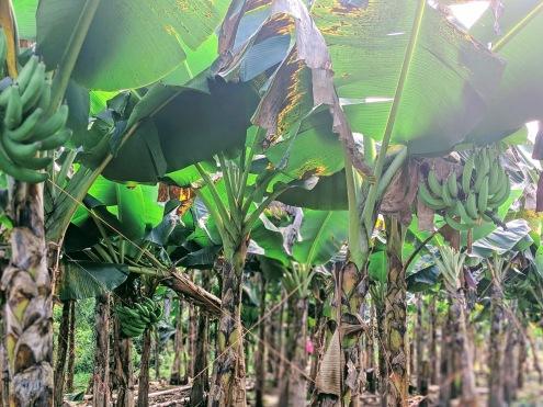 Plantain trees in La Cuchilla