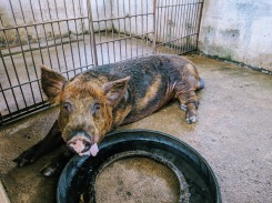 Remolino pig business