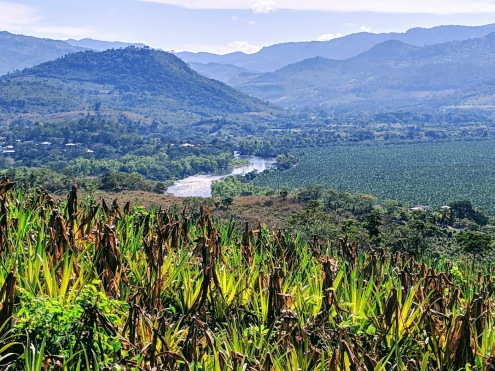 Remolino pineapple field overlooking river