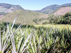 Remolino pineapple field