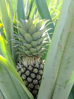 Remolino Pineapple