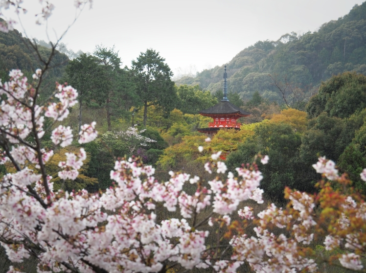 Kiyomizudera vermilion temple in sakura Kyoto Japan