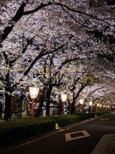Kyoto sakura at night