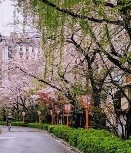 Kyoto sakura in rain