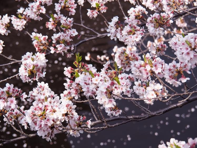 Nakameguro Sakura Tokyo