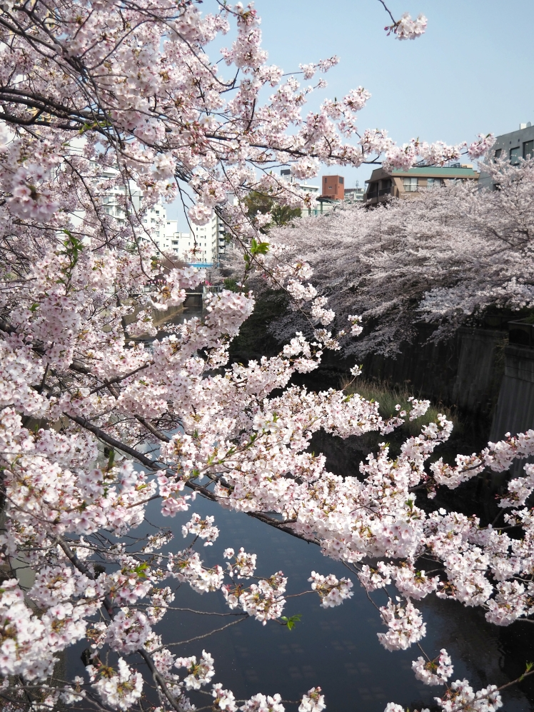 Nakameguro Sakura Cherry Blossoms Tokyo