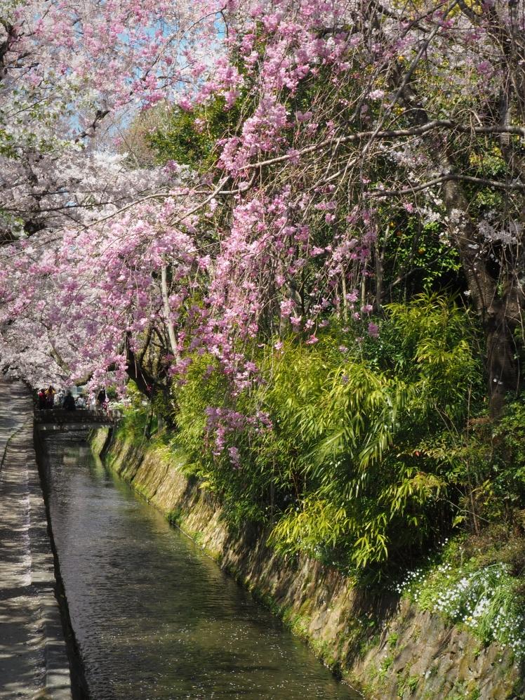 Philosopher's Path Sakura Kyoto Japan