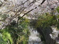 Philosophers Path sakura Kyoto Japan