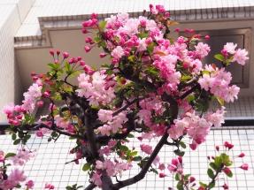 Nakameguro Sakura season Tokyo Japan