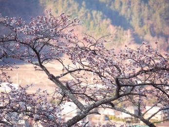 Sakura tree opening at Lake Kawaguchi