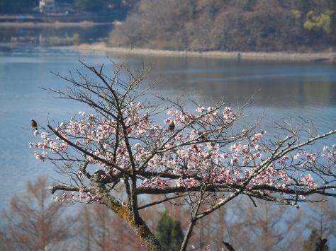 Birds in sakura tree at Lake Kawaguchi