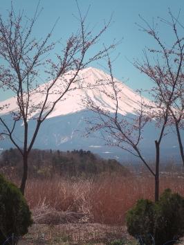 Mt Fuji with Sakura blossoms at Lake Kawaguchi