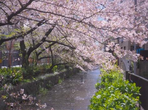 Sakura canal at Kyoto Airbnb