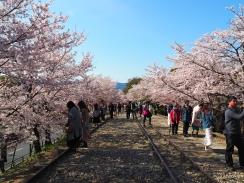 Sakura season in Kyoto Japan