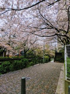 Sakura petals falling in Kyoto Japan