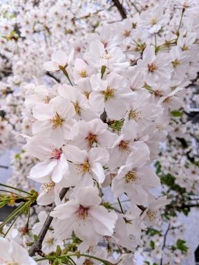 Yoyogi Park Sakura season Tokyo Japan