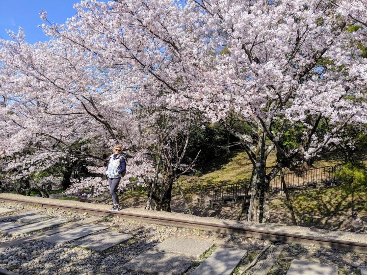 Sakura season kyoto Japan
