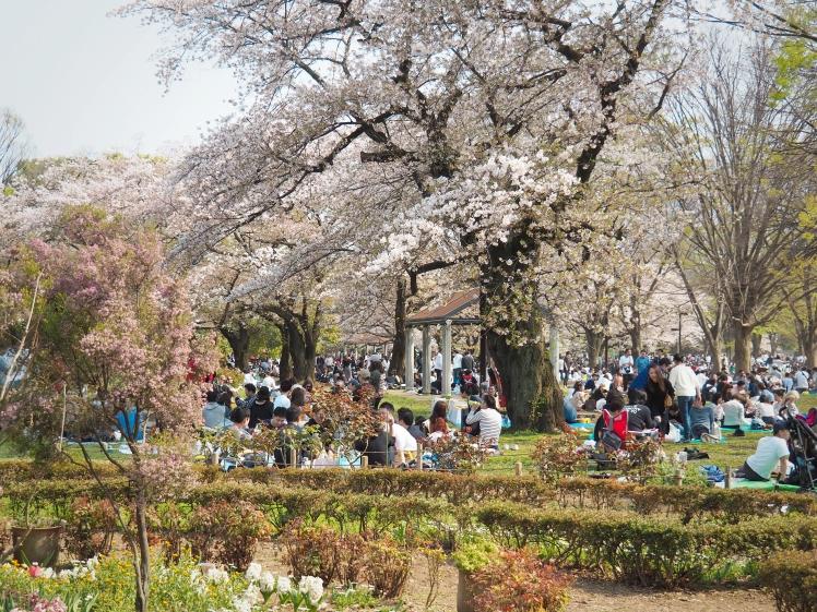Yoyogi Park Sakura Season