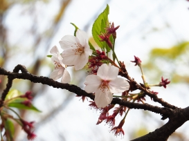 Sakura cherry blossom Tokyo Spring 2019
